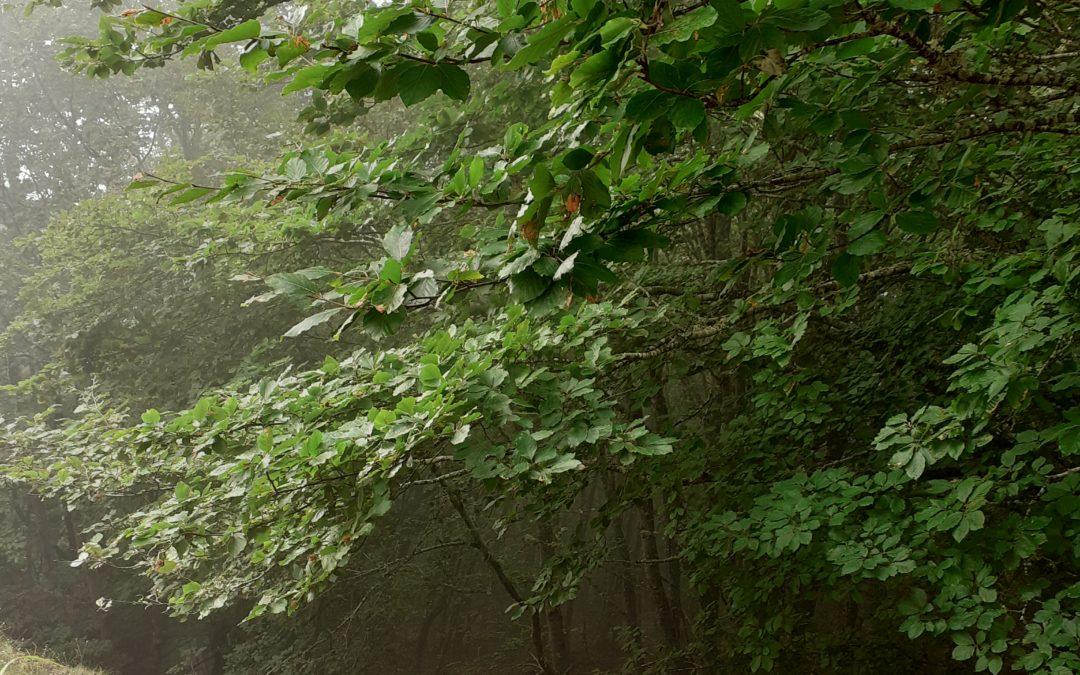 Bosque de hayas en el Gilbo
